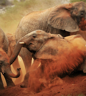elephant fall in desert after fight