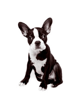 Boston Terrier Puppy Pictures