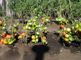 помидоры в открытом грунте 1