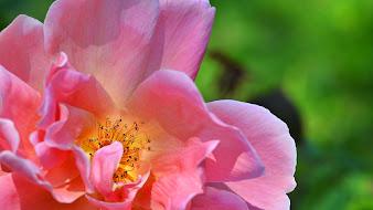 #3 Wonderful Flowers Rose Wallpaper