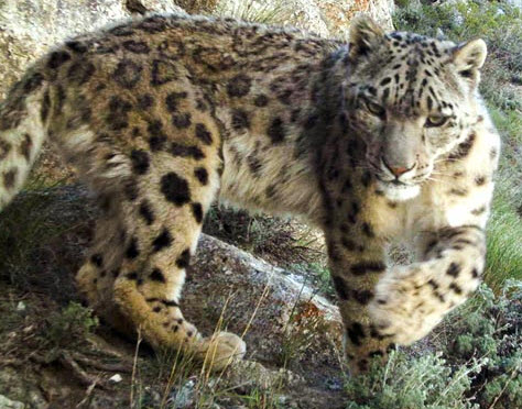 conservation of the snow leopard essay Snow leopards natural habitat is in afghanistan, bhutan, china, india, kazakhstan, kyrgyz republic, mongolia, nepal, pakistan, russia, tajikistan, and uzbekistan (snow leopard, 2012) the range of the snow leopard is.