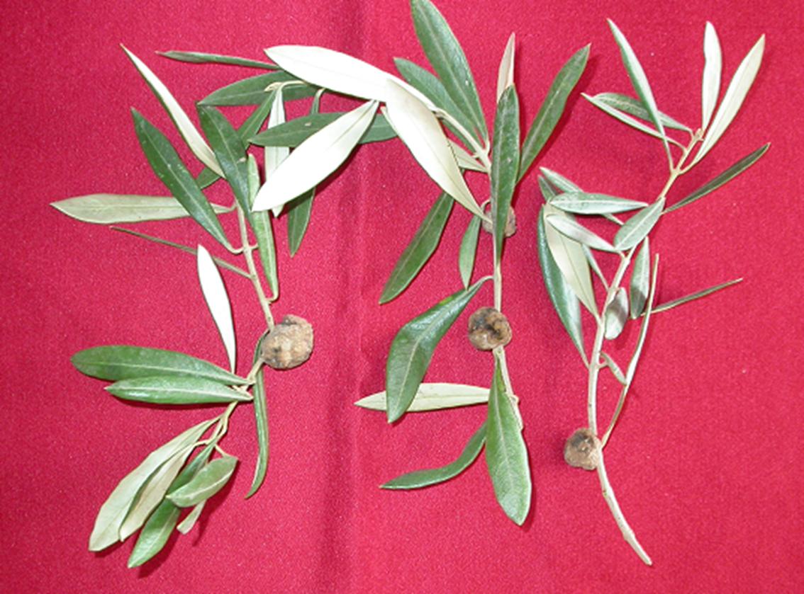 Agriculture tuberculose de l olivier olive knot - Psylle de l olivier ...