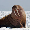 Now walrus are washing up dead along the Alaskan coast as marine life deaths intensify