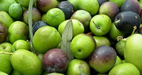 Arbequina olive variety produces a mild, fruity oil, characterized by almond and tropical notes when it is ripe