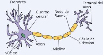 Imagen de la neurona señalando sus partes