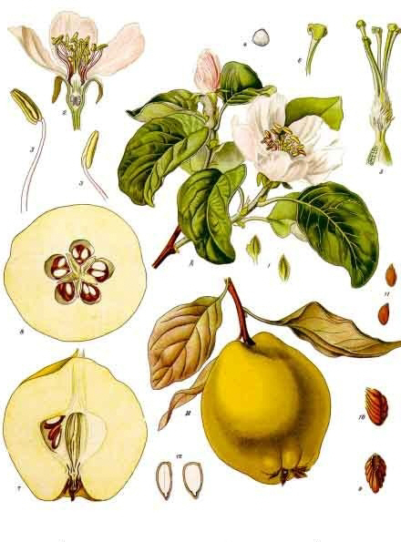 Quince - Healthy seeds and leaves