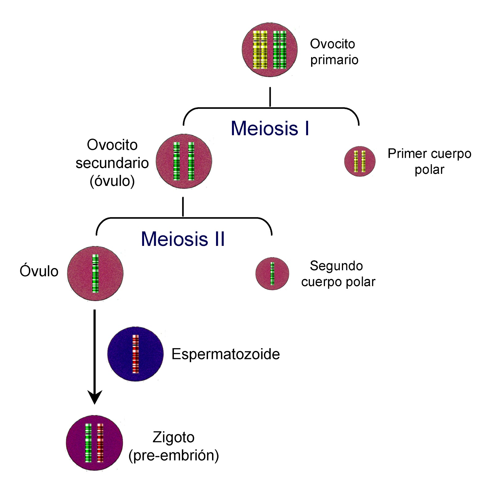 Meiosis I y II durante la ovogénesis