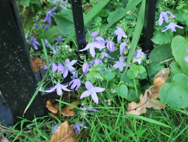 Picture of purple aubretia through railings