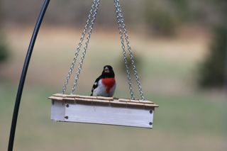 photo of male rosebreasted grosbeak
