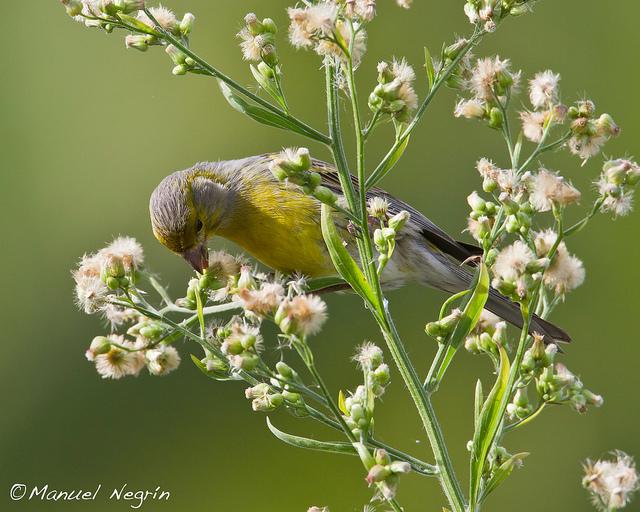 ... untuk memelihara burung kenari ada baiknya sebelum memelihara anda