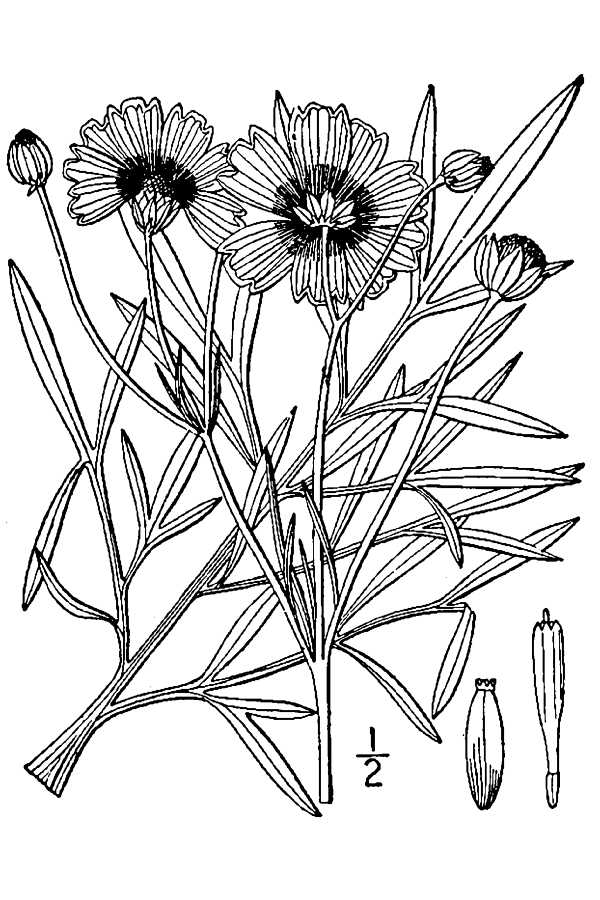 Wildflower Line Drawing : The country farm home wildflower or weed