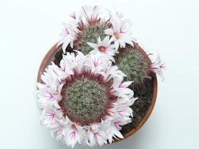 Las flores del cactus