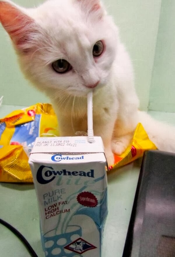 Funny cats - part 79 (35 pics + 10 gifs), kitten drinks milk with straw