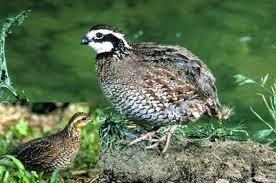 Foto Burung Gemak Jantan