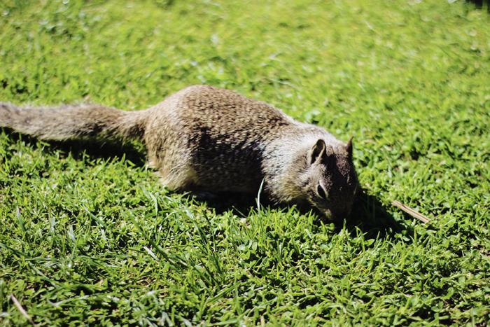 santa monica pacific palisades park squirrel