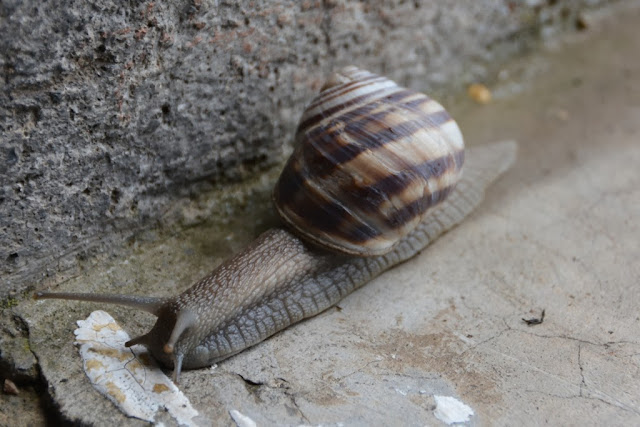 Bay of Kotor snail