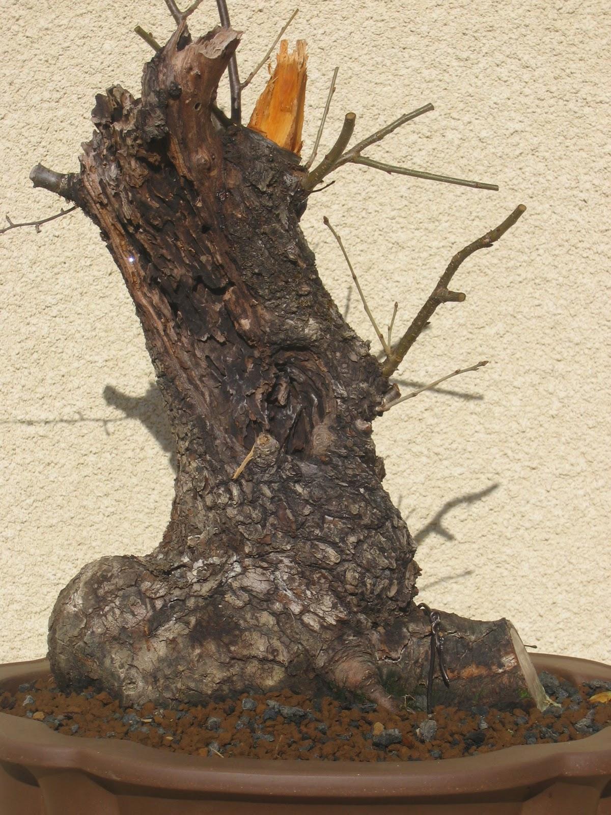 Cerisier Bois Mort : En 2009, prolongement du bois mort afin de retrouver la conicit?