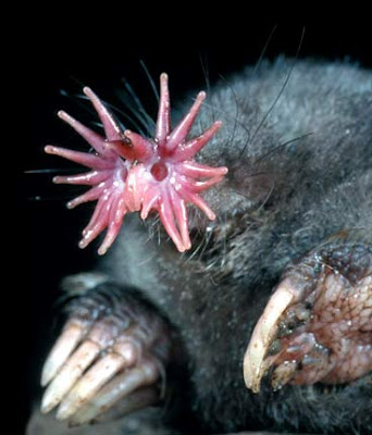 Động vật kì lạ: Chuột chũi mũi sao