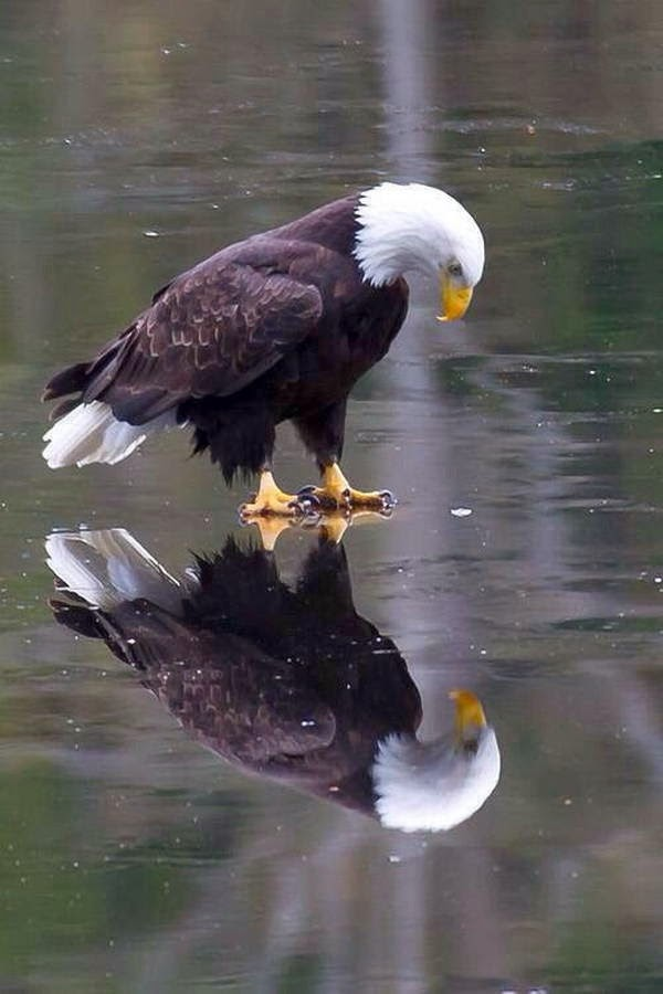 Funny animals of the week - 28 March 2014 (40 pics), bald eagle sees his reflection