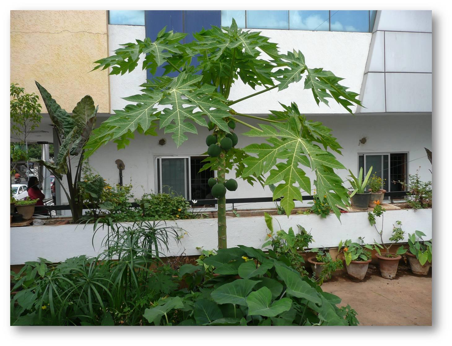 Papaya tree on my terrace for Terrace trees