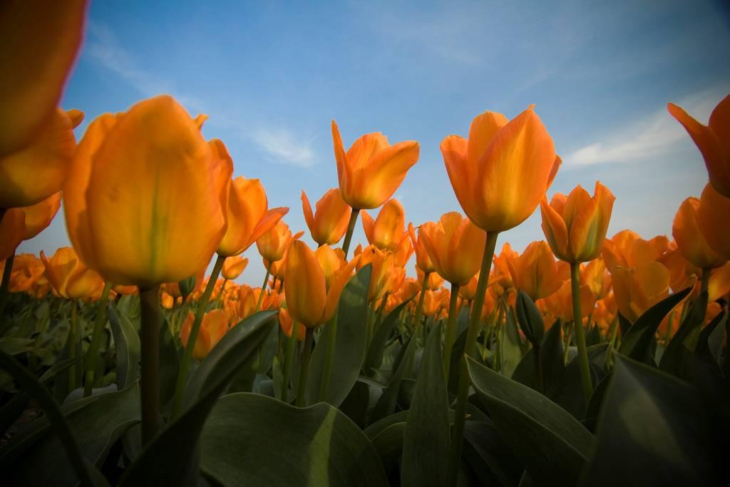 field of orange tulips