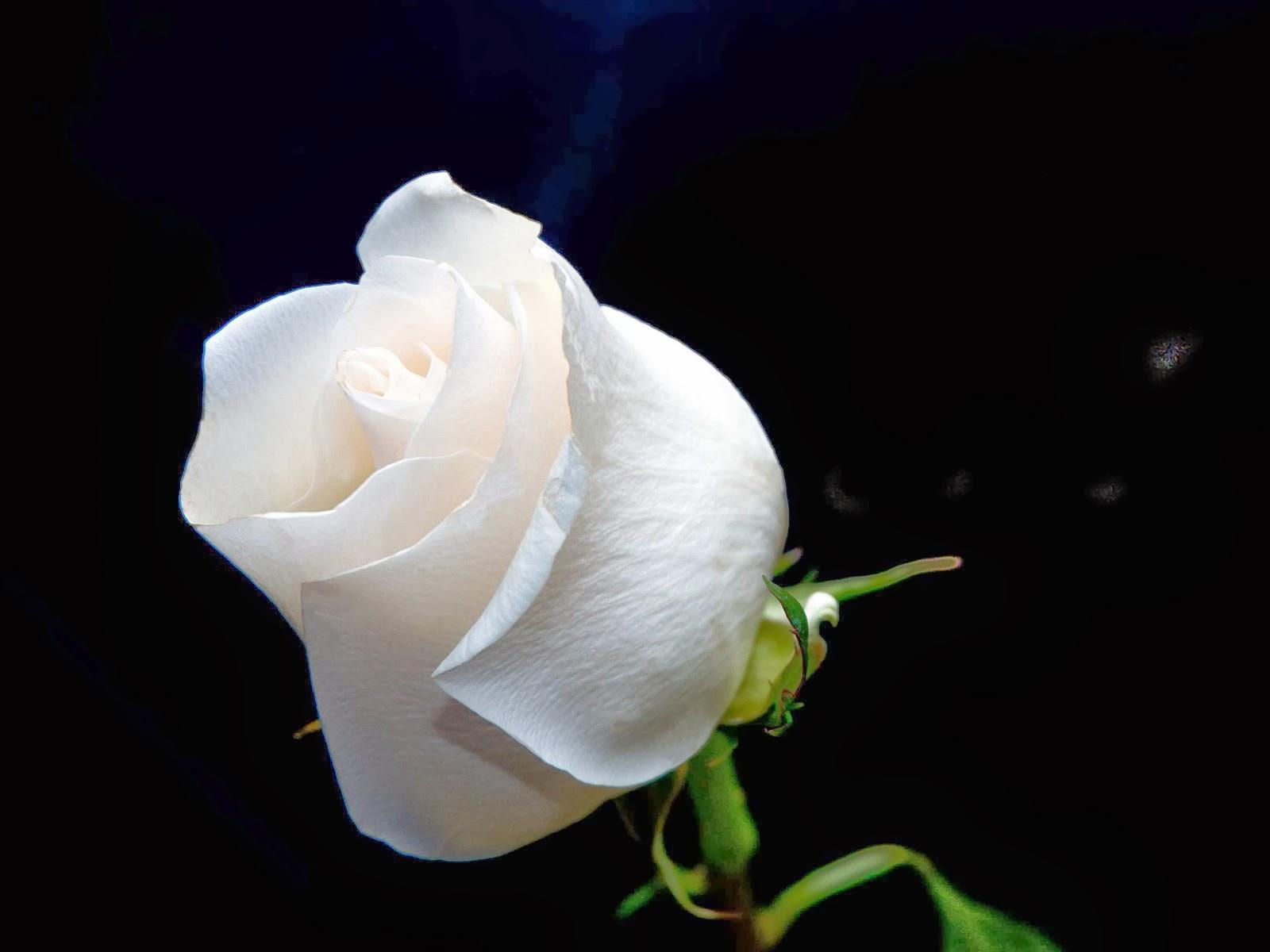 White Roses Wallpapers Keywords Here