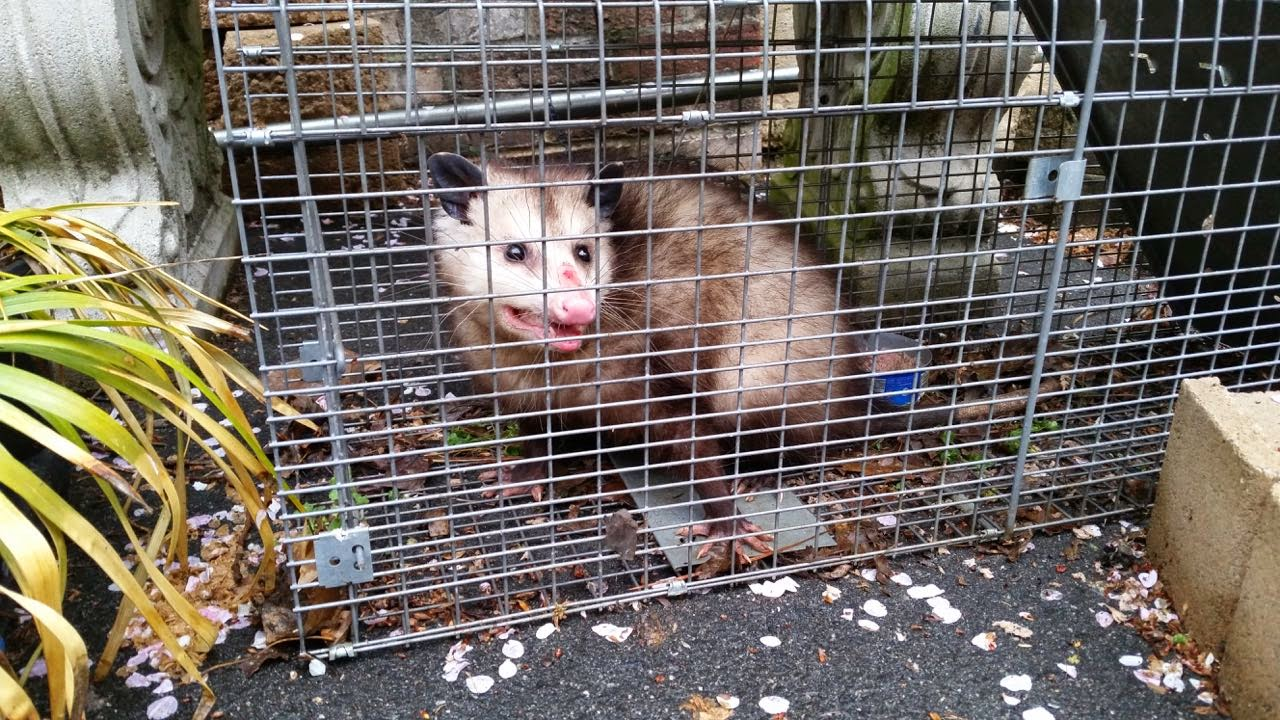 how to keep possums out of my yard