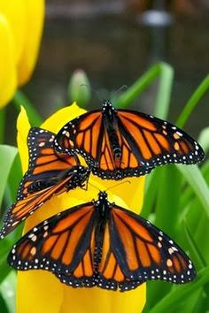 Mariposas monarca de cerca