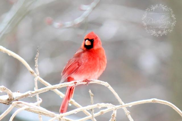 Cardinal resting on a trumpet vine.