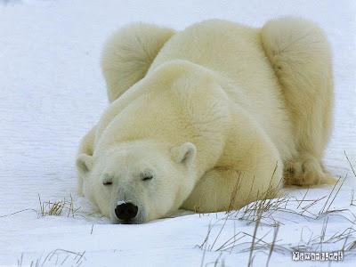 Xem hinh anh dep về gấu bắc cực