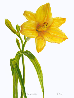 Yellow Daylily botanical print