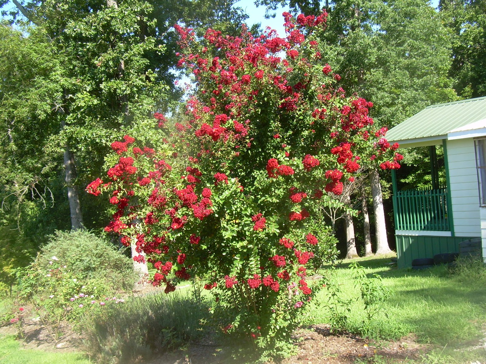 blowing off steam: Knockout Roses, Crepe Myrtle and a Frog
