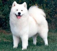 anjing jenis samoyed