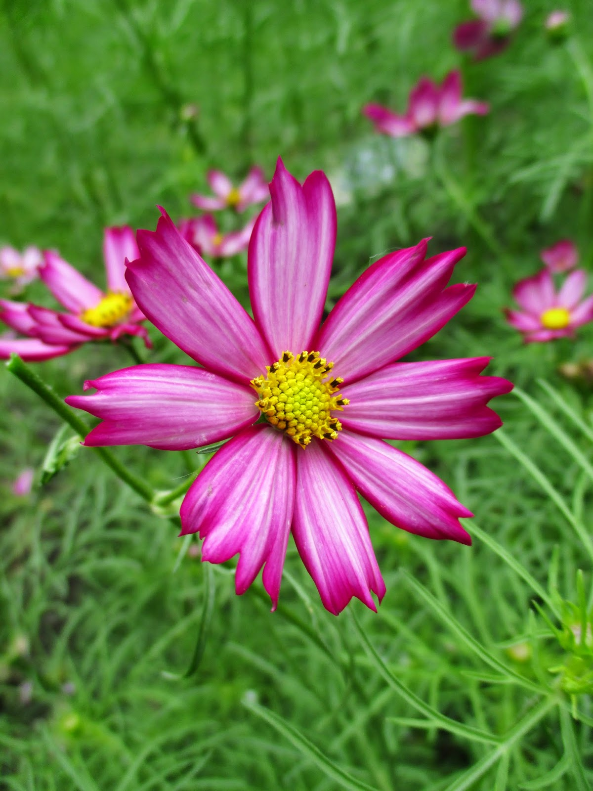 Cosmos - Shades of Pink - Rotary Botanical Gardens