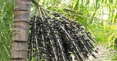 Le palmier pinot flore de l le de la r union for Entretien jardin reunion