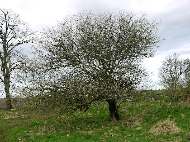 blackthorn tree - photo #3