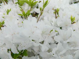 white flowers from Korea