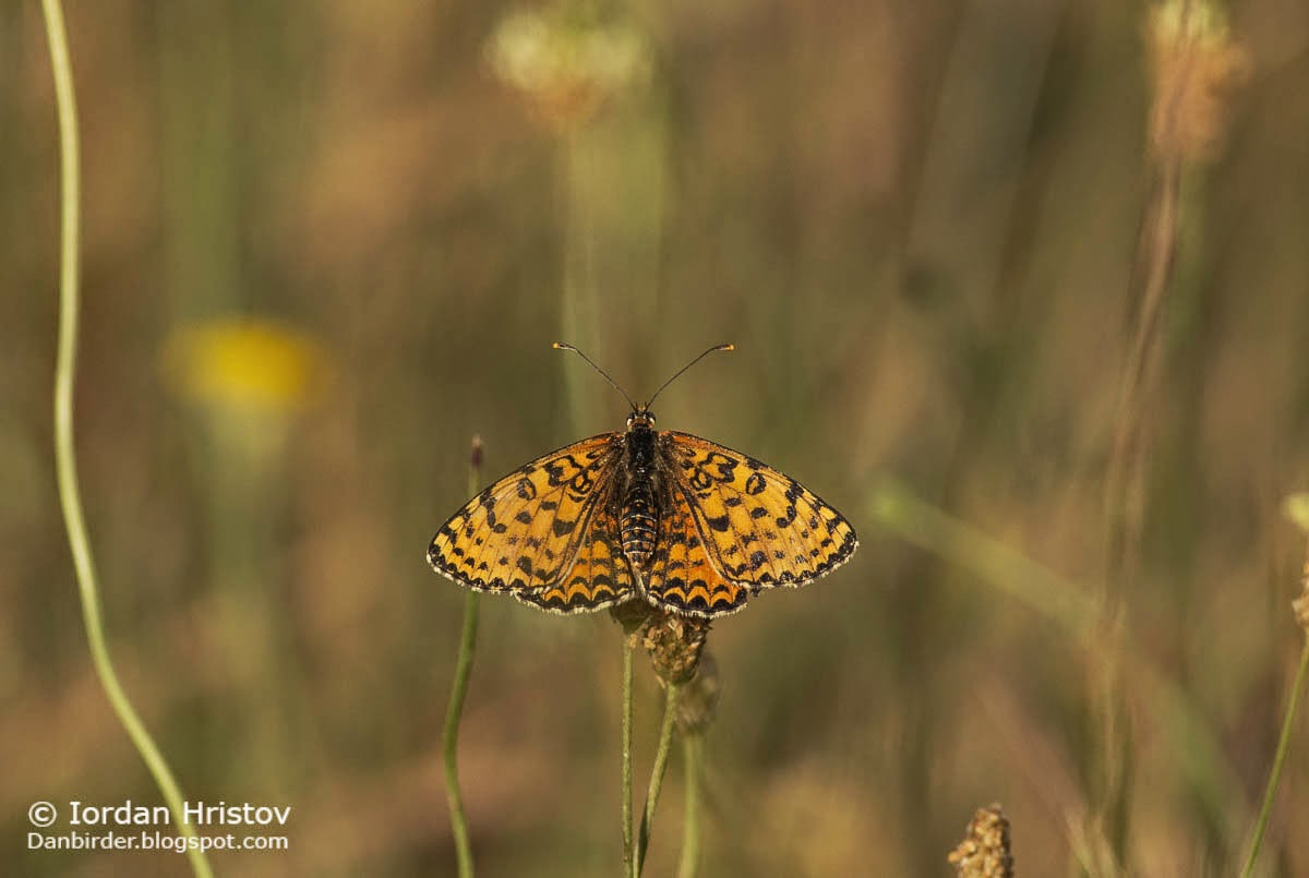 Spotted Fritillary Melitaea didyma, copyright Iordan Hristov