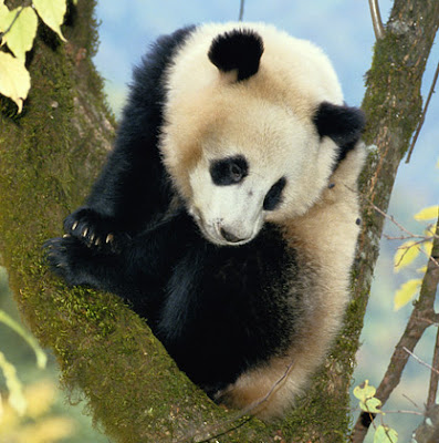 Giant Panda Animal Facts And Pictures | All Wildlife ...
