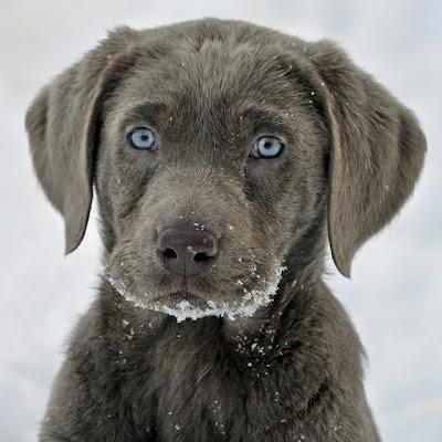Cachorro Labrador Mascotas