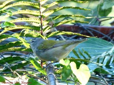 Lesser Greenlet Hylophylus decurtatus birdwatching Nicaragua