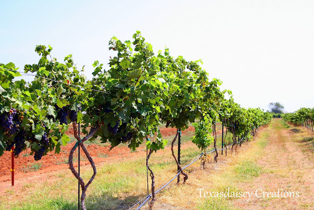 Vineyard in Seymour Texas 5