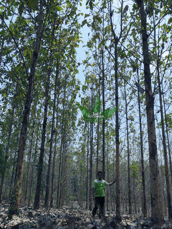 Pohon_Jati_Solomon_Umur_4_tahun_Semarang5