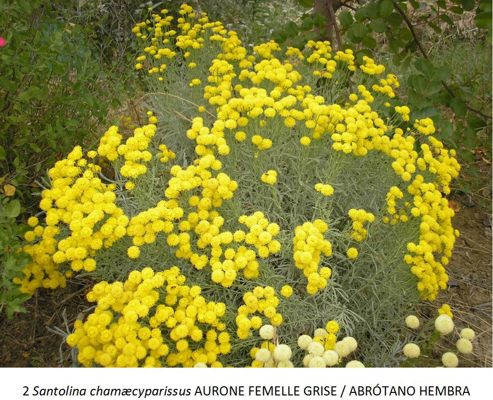 Plantas arom ticas jard n de nudos for Plantas aromaticas jardin