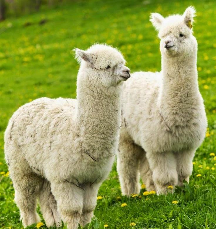 lama lover animal amp nature