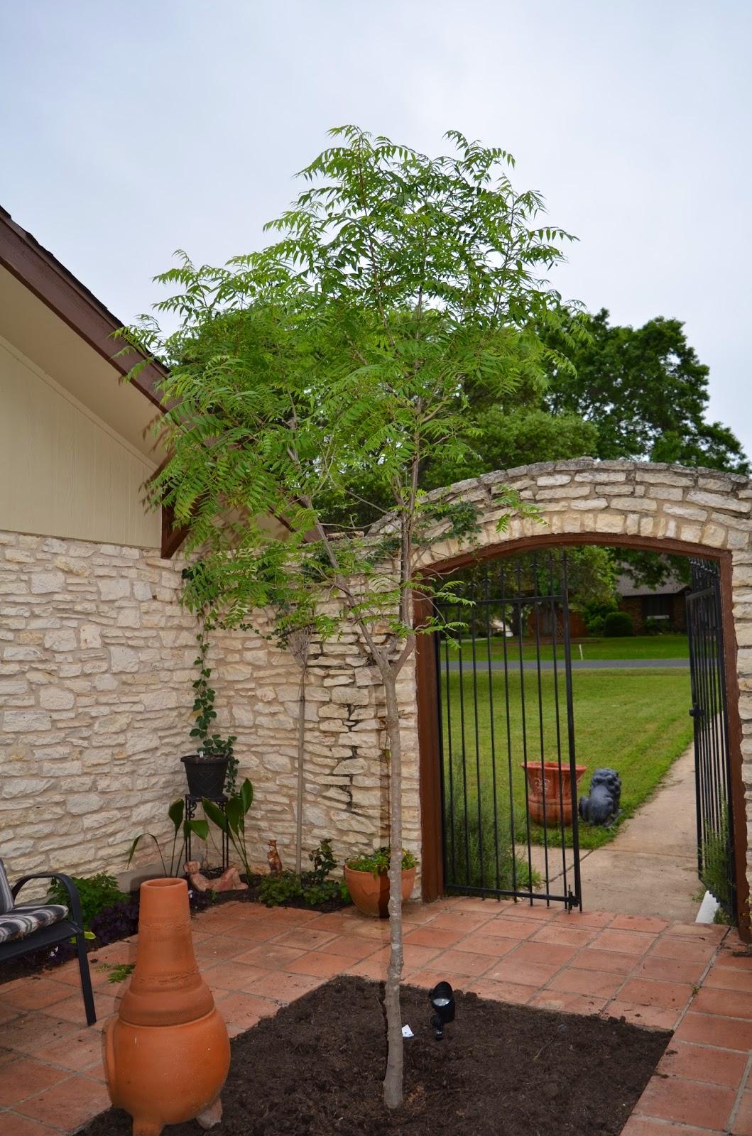 rebecca u0027s texas garden new courtyard tree chinese pistache