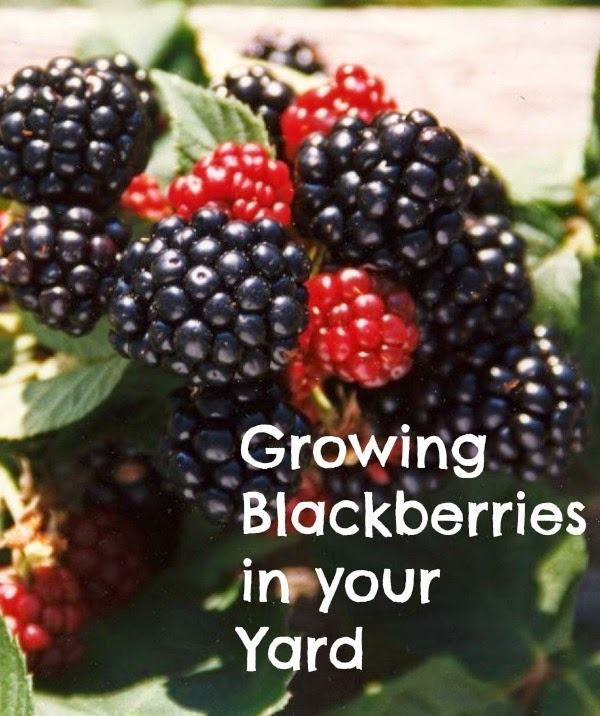 Sunny Simple Life Growing Blackberries In Your Backyard