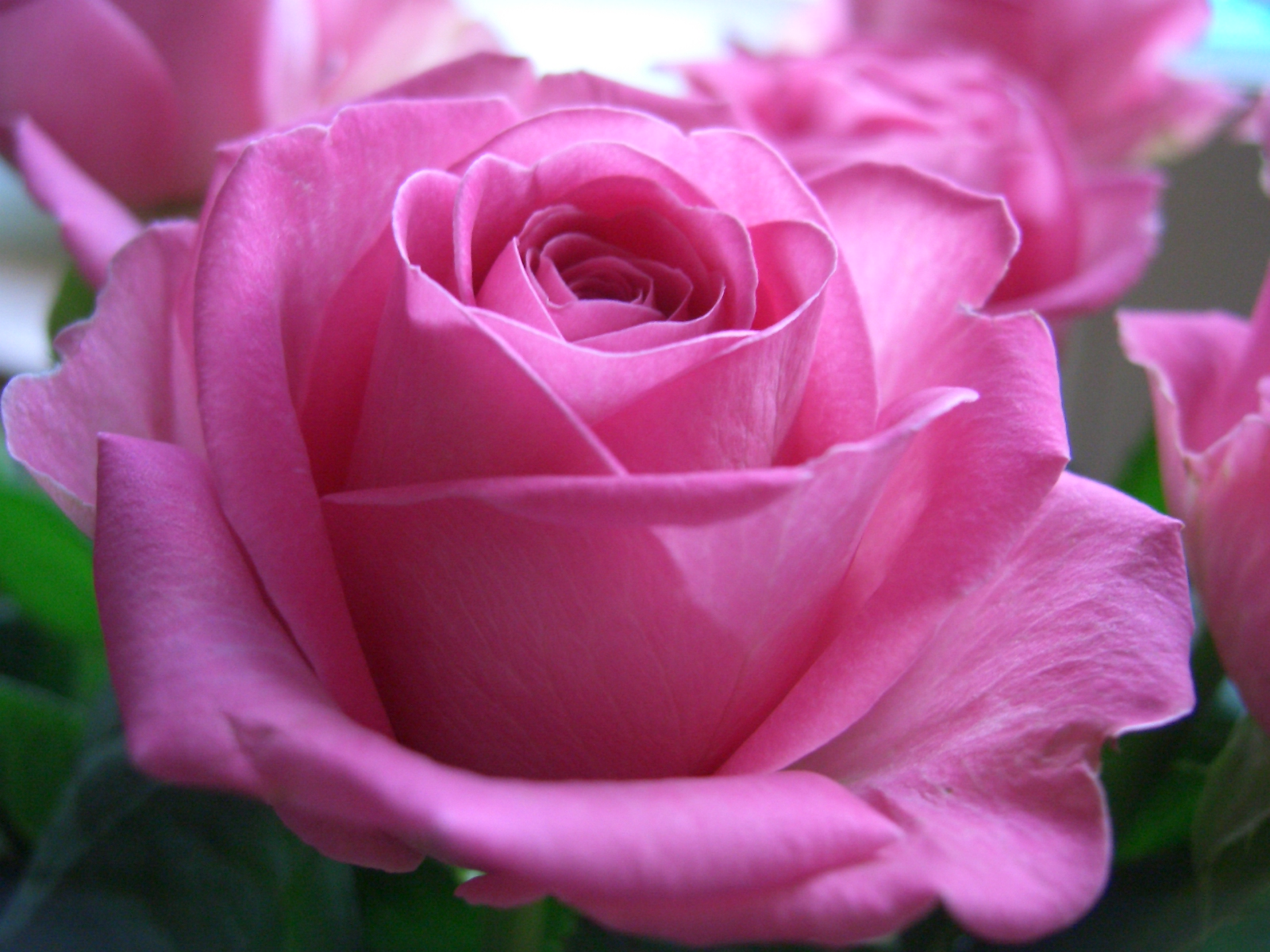 РОЗА РОЗОВАЯ  Pink_Rose_,free+hd+wallpapers+pink+rose+wallpapers