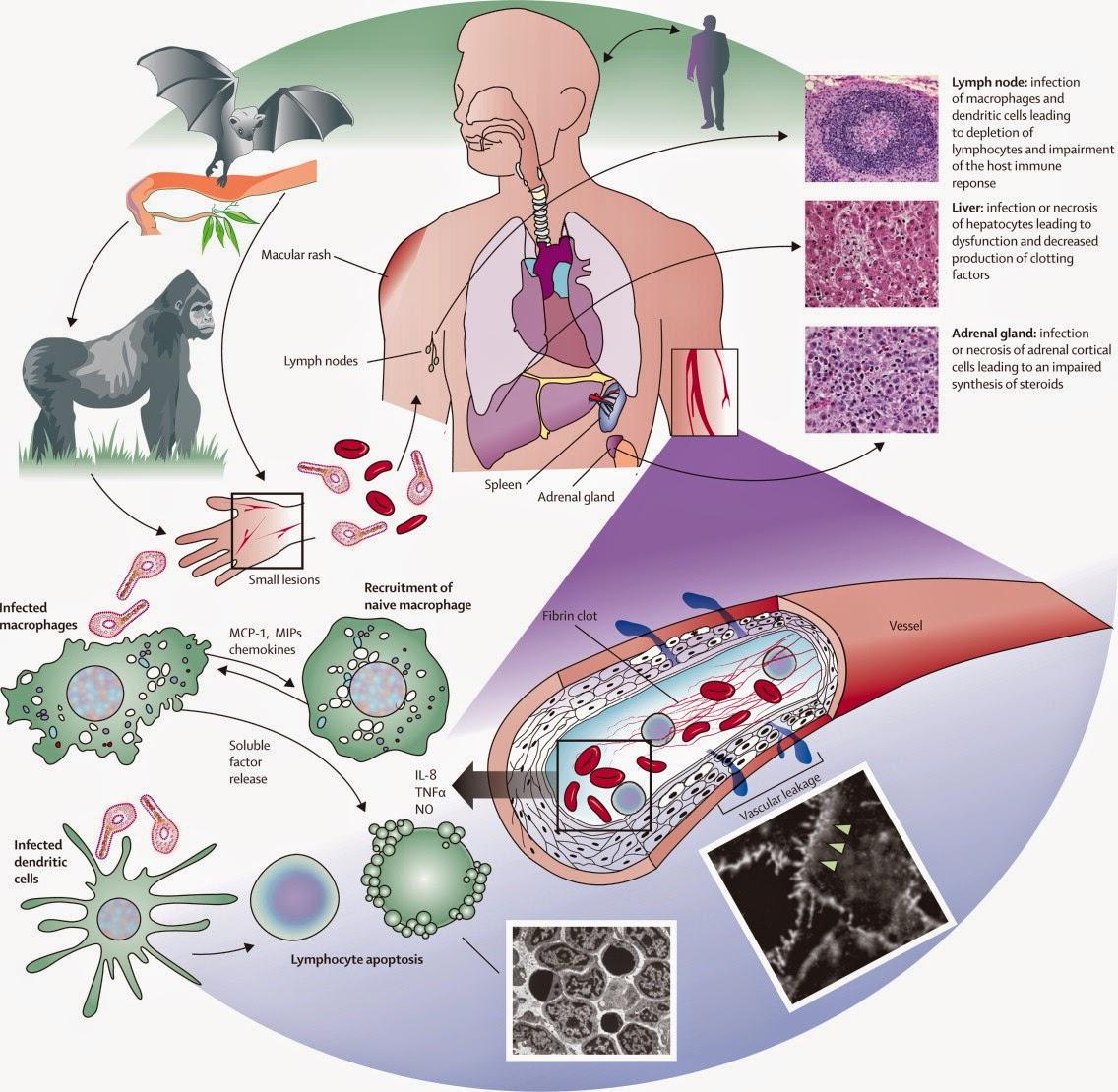 ebola-virus-cycle-of-transmission