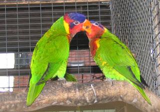Ciri-Ciri Nuru Raja Ambon Penampilan burung Nuri raja Ambon memang khas. Selain seperti jenis burung Nuri lainnya yang mempunyai paruh bengkok, burung yang mempunyai badan sepanjang 35 cm ini memiliki bulu yang 'semarak' dan mencolok dengan kombinasi warna merah, hijau, dan biru. Bulu pada kepala dan dada burung nuri raja ambon berwatna merah Sayapnya berwarna hijau. sedangkan bagian punggung atas berwarna biru dan ekor mempunyai warna biru atau biru keunguan atau biru kehitaman.  Ciri Burung Betina Nuri Kepala Hitam : Tubuh lebih besar dan panjang; Warna bulu leher hitam melingkar tidak menyambung; Bulu ekor lebih panjang daripada jantan; Warna bulu paha biru turkis gelap (dop); Warna bulunya tidak mengkilap (dop) dibandingkan jantan.   Ciri Burung  Jantan Nuri Kepala Hitam : Tubuh burung kecil dan pendek dibanding betina; Ekor lebih pendek; Warna bulu paha biru turkis terlihat jelas;  Warna bulu leher biru turkis melingkar menyambung; Warna bulu lebih mengkilap dibanding betina.